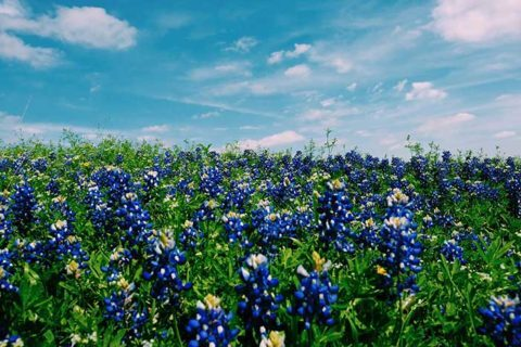 Bluebonnets in The Woodlands, TX